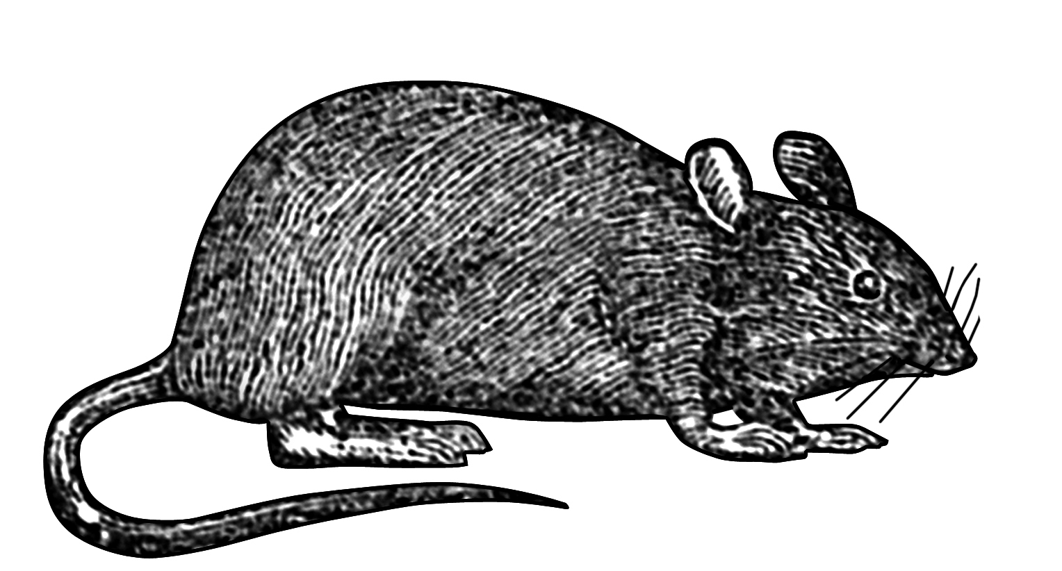 This line drawing of a mouse was part of the trademark for the anvils made at Mousehole Forge at Malin Bridge, Sheffield